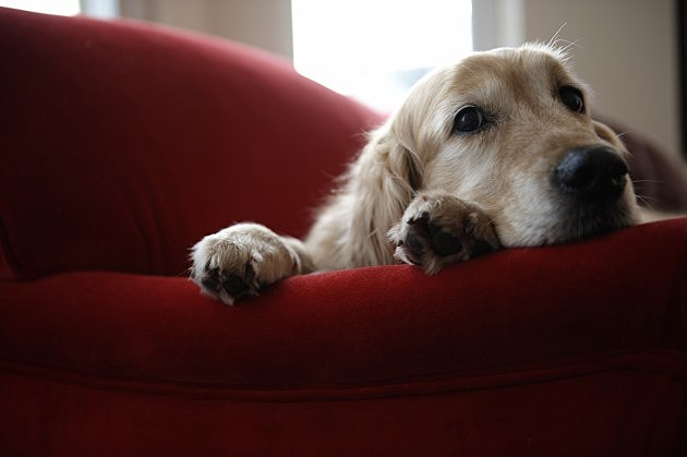 Golden Retreiver on Sofa